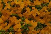 觀賞樹木:印度紫檀 Pterocarpus indicus Willd.