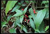 草花植物:日本商陸Phytolacca japonica