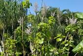 木本花卉:麝香木 Tetradenia riparia (Hochst.) Codd