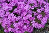 草花植物:芝櫻 Phlox subulata