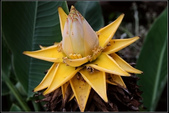 草花植物:地湧金蓮  Musella lasiocarpa
