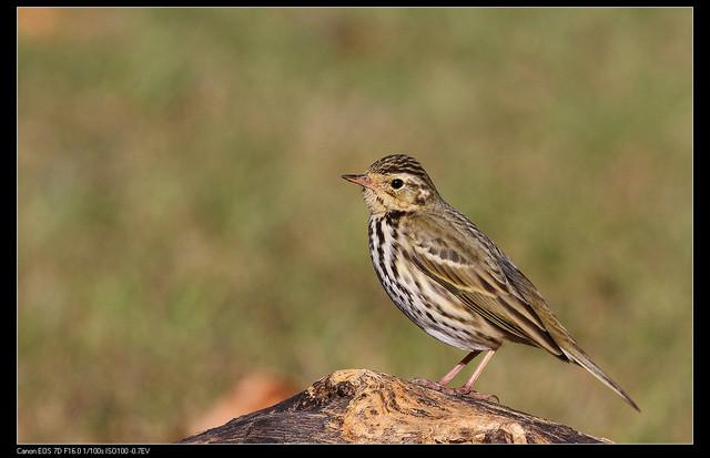 鳥類攝影:1770958772.jpg