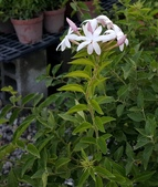 藤蔓植物:毛茉莉 Jasminum multiflorum (Burm. f.) Andr.