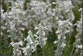 草花植物:白花鼠尾草