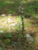 草花植物:綬草 Spiranthes sinensis (Per.) Ames