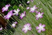 精彩圖片:麥稈石竹 Agrostemma githago