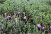 草花植物:法國長梗薰衣草 Lavendula stoechas subs. pedunculata