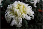 菊花:白椿菊