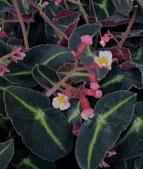 草花植物:貓眼秋海棠Begonia listada
