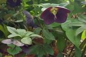 草花植物:聖誕玫瑰 Helleborus niger