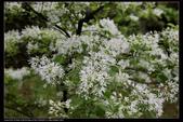 木本花卉:流蘇樹Chionanthus retusus