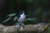 鳥類攝影:藍歌鴝