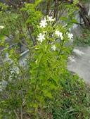 藤蔓植物:天星茉莉 Jasminum auriculatum
