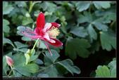 草花植物:大耦斗菜AquitegiaXhybrida