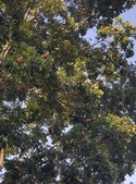 觀賞樹木:大葉桃花心木 Swietenia macropnylla King