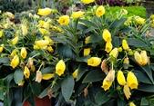 草花植物:黃花小圓彤