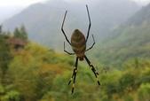 蜘蛛:橫帶人面蜘蛛 Nephila clavata L. Koch