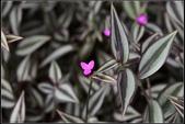 觀葉植物:吊竹草Zebrina pendula