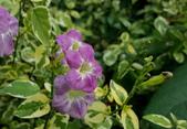 草花植物:斑葉赤道櫻草Asystasia gangetica 'Variegata'