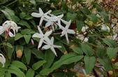 藤蔓植物:多花素馨 Jasminum grandiflorum Linn.