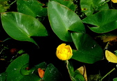 水生植物:日本萍蓬草