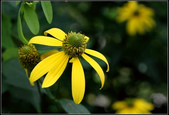 菊花:綠心菊