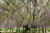 藤蔓植物:多花紫藤