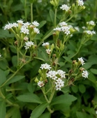草花植物:甜菊 Stevia rebaudiana (Bertoni) Bertoni