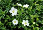 草花植物:蒙大拿山蚤綴 Arenaria montana