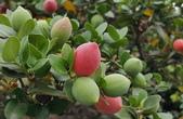 木本花卉:卡利撒(美國櫻桃)Carissa grandiflora A. D