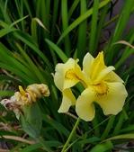 球根花卉:黃花菖蒲  Iris pseudacorus