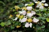 木本花卉:刺葉黃褥花(鐵甲櫻桃)Malpighia coccigera L