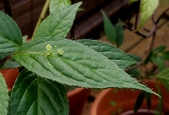 觀賞樹木:臺灣青莢葉 Helwingia formosana Kanehira et Sasaki