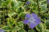 草花植物:斑葉蔓長春 Vinca major var. variegata