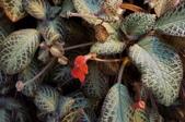 草花植物:喜蔭花Episcia cupreata