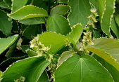 觀葉植物:鑲邊旋葉鐵莧Acalypha wilkesiana cv.'Hoffmanii'