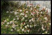 木本花卉:石斑木Rhaphiolepis indica