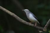 鳥類攝影:灰頭椋鳥 Sturnia malabarica