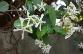 藤蔓植物:絡石 Trachelospermum jasminoides  (Lindl.) Lemaire
