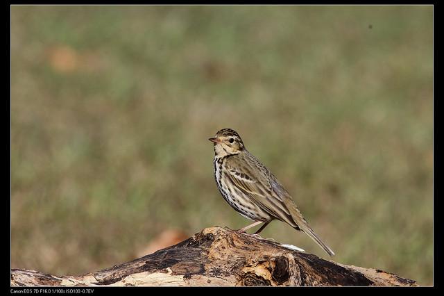 鳥類攝影:1770958773.jpg