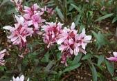 草花植物:紫葉千鳥花 gaura lindheimen