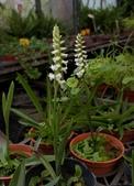 草花植物:北美綬草Spiranthes cernua