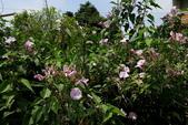木本花卉:樹牽牛Ipomoea crassicaulis (Benth.) B. L. Robin.