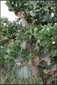 多肉植物:金武扇仙人掌Opuntia tuna