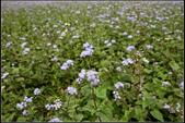 菊花:紫花藿香薊Ageratum houstonianum Mill.