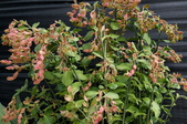 球根花卉:紅雀珊瑚 Pedilanthus tithymaloides (L.) Poit.
