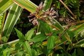 菊花:高士佛澤蘭 Eupatorium clematideum (Wall. ex DC.) Sch. Bip. var. gracillimum (Hayata) C. I Peng & S. W. Chung