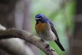 鳥類攝影:中華仙鶲 Cyornis glaucicomans