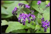 草花植物:香水草Heliotropium peruvianum