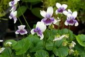 草花植物:腎葉菫 Viola banksii